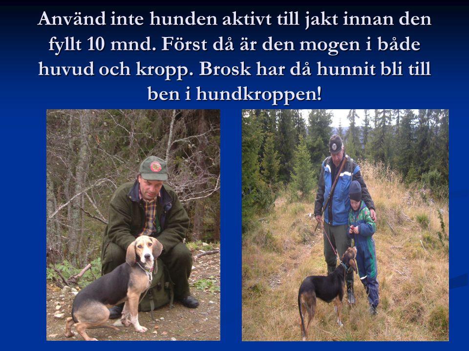 Använd inte hunden aktivt till jakt innan den fyllt 10 mnd
