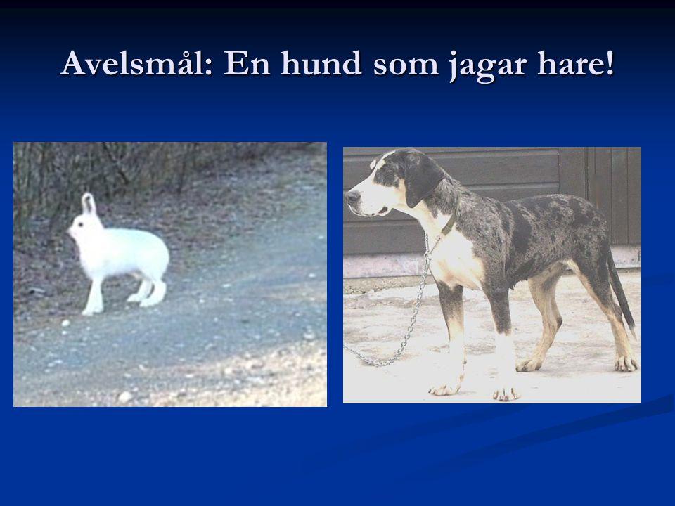 Avelsmål: En hund som jagar hare!