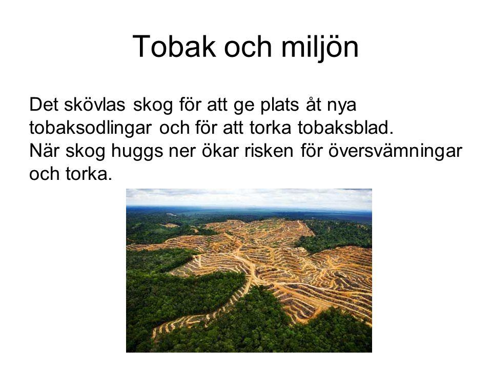 Tobak och miljön Det skövlas skog för att ge plats åt nya tobaksodlingar och för att torka tobaksblad.