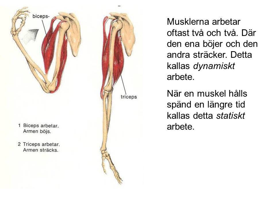 Musklerna arbetar oftast två och två