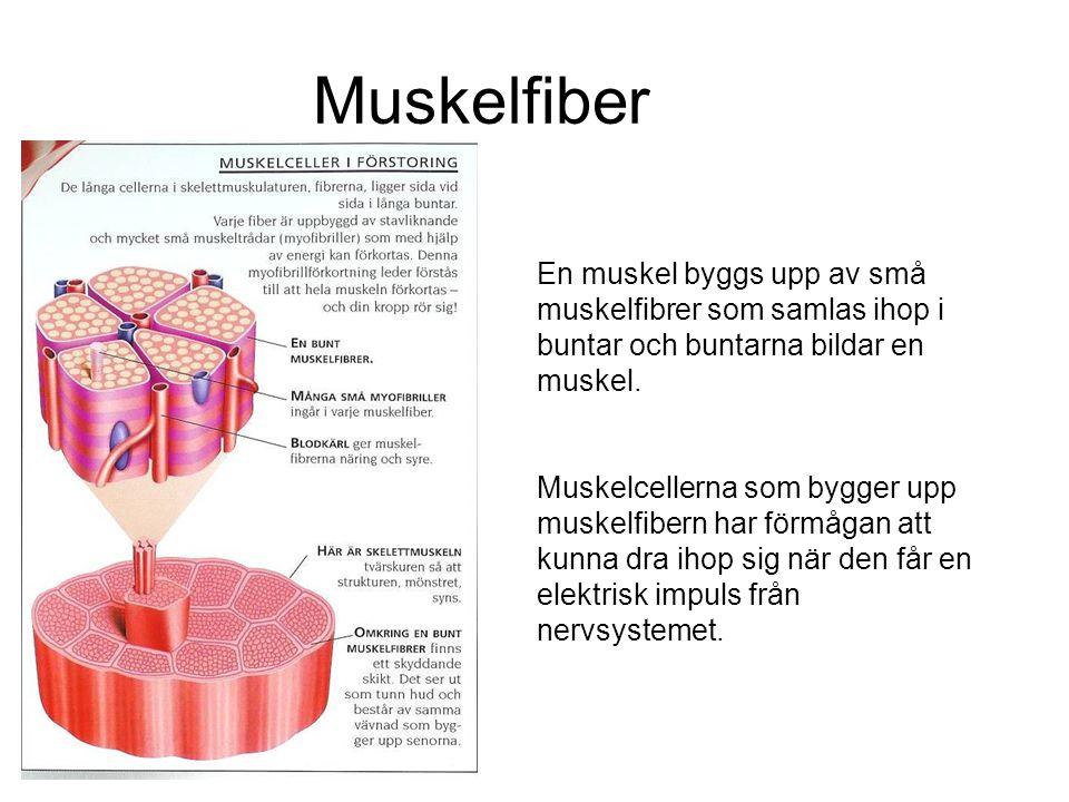 Muskelfiber En muskel byggs upp av små muskelfibrer som samlas ihop i buntar och buntarna bildar en muskel.