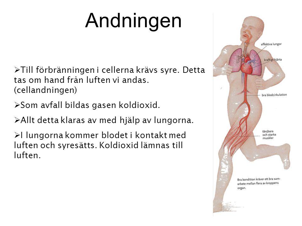 Andningen Till förbränningen i cellerna krävs syre. Detta tas om hand från luften vi andas. (cellandningen)