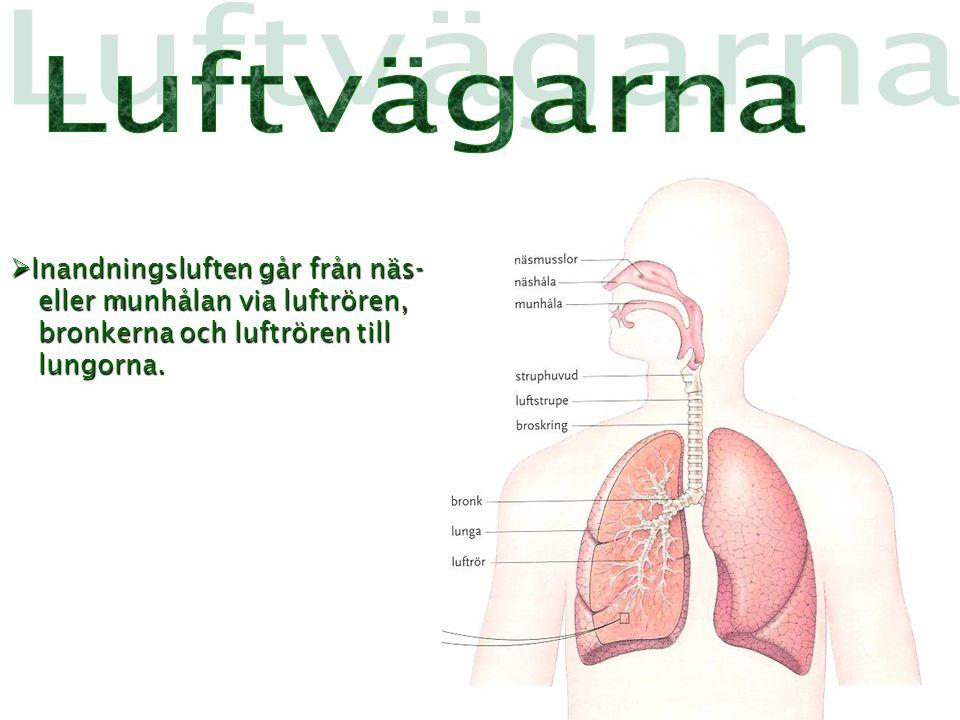 Luftvägarna Inandningsluften går från näs- eller munhålan via luftrören, bronkerna och luftrören till lungorna.