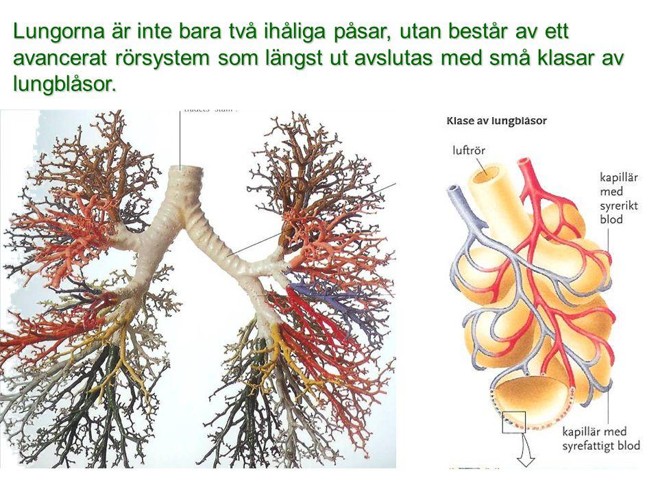 Lungorna är inte bara två ihåliga påsar, utan består av ett avancerat rörsystem som längst ut avslutas med små klasar av lungblåsor.