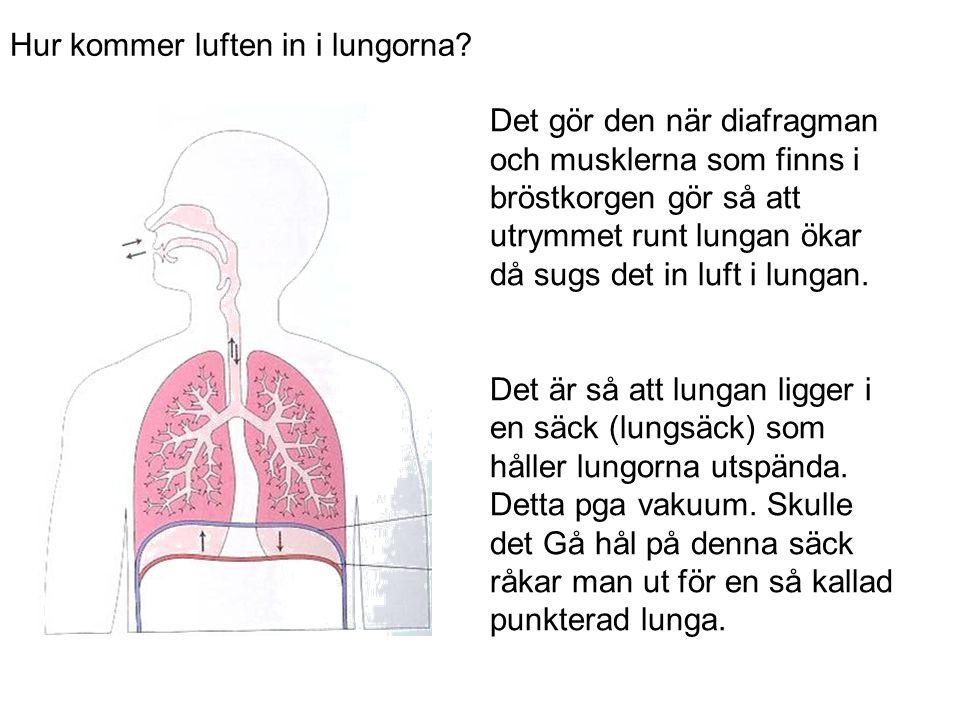 Hur kommer luften in i lungorna