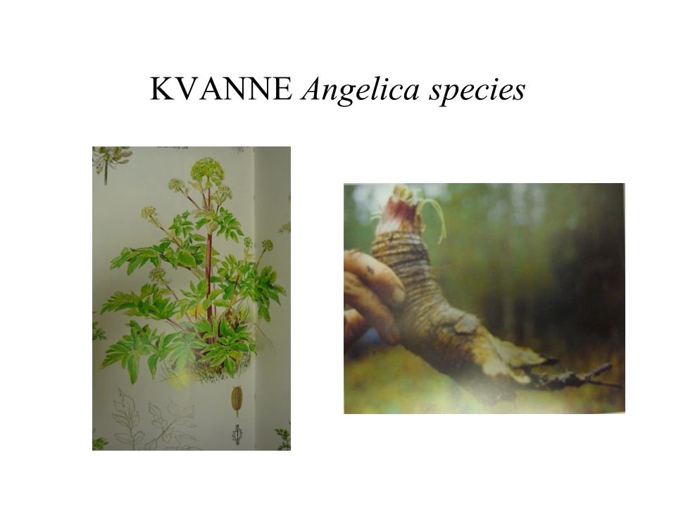 KVANNE Angelica species