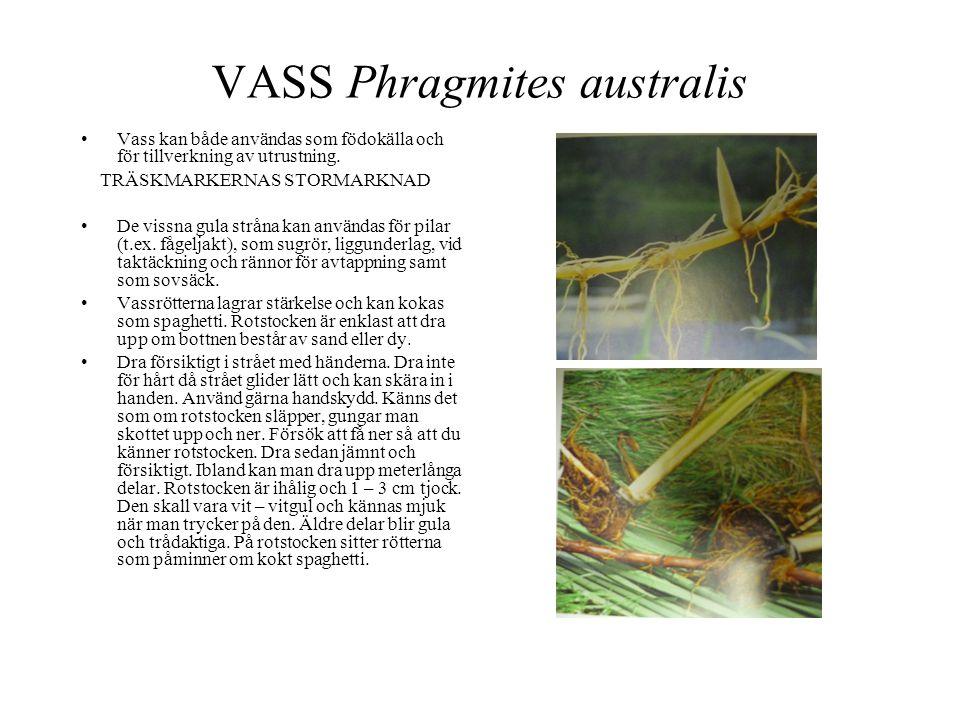 VASS Phragmites australis