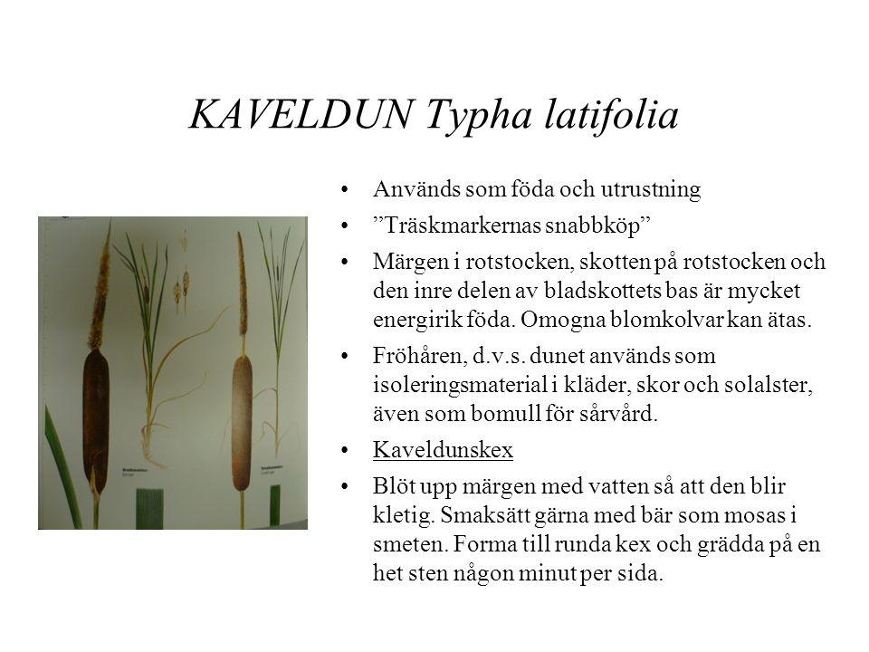 KAVELDUN Typha latifolia
