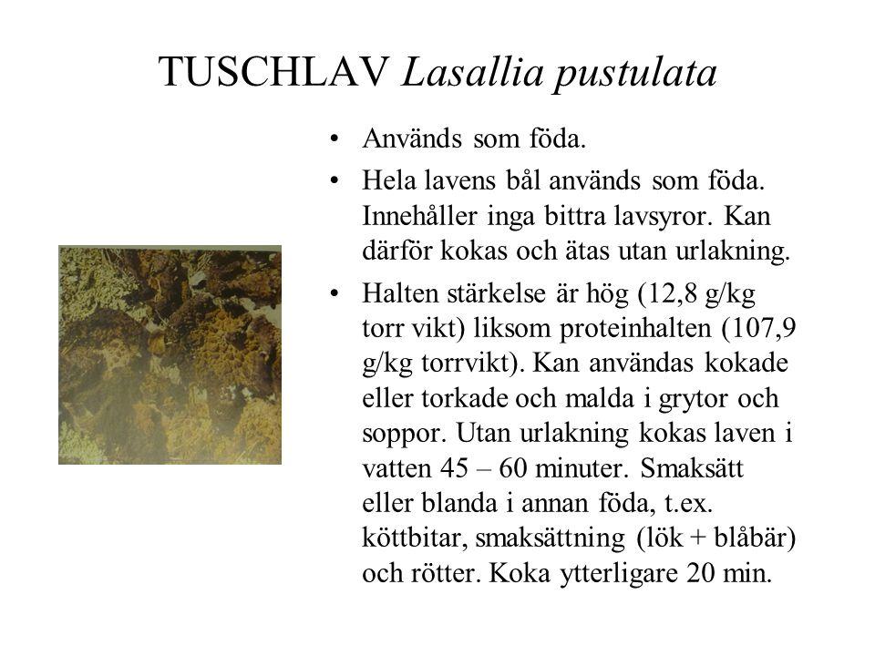 TUSCHLAV Lasallia pustulata