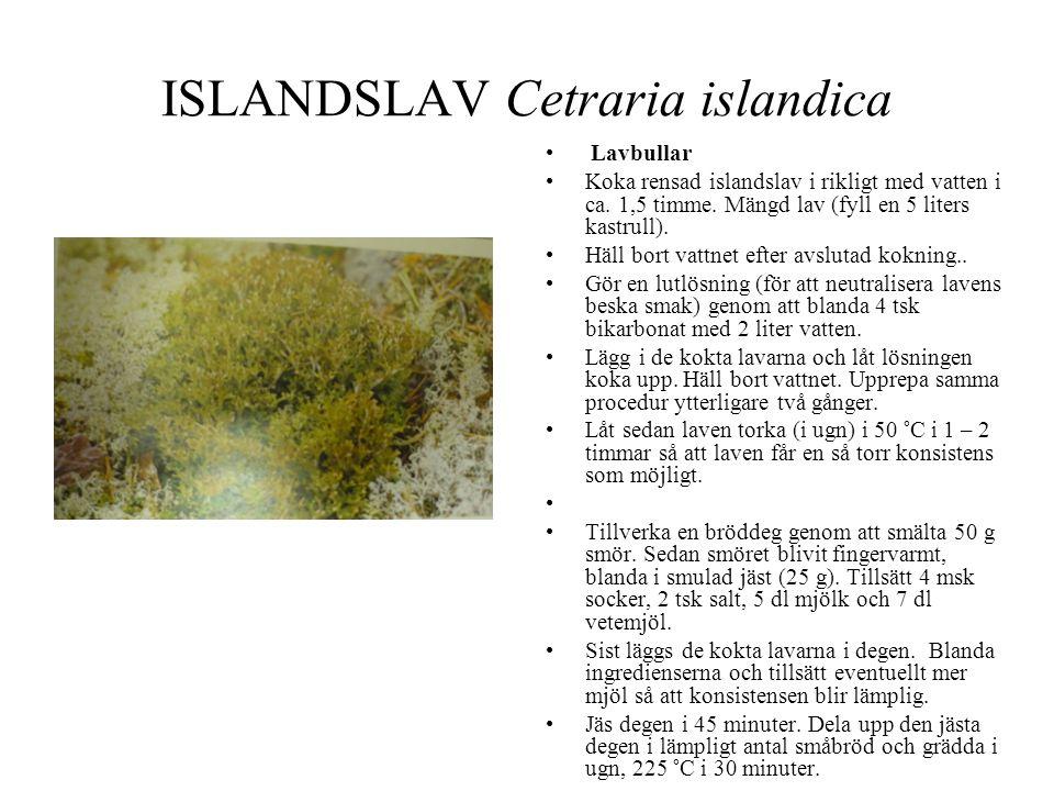 ISLANDSLAV Cetraria islandica