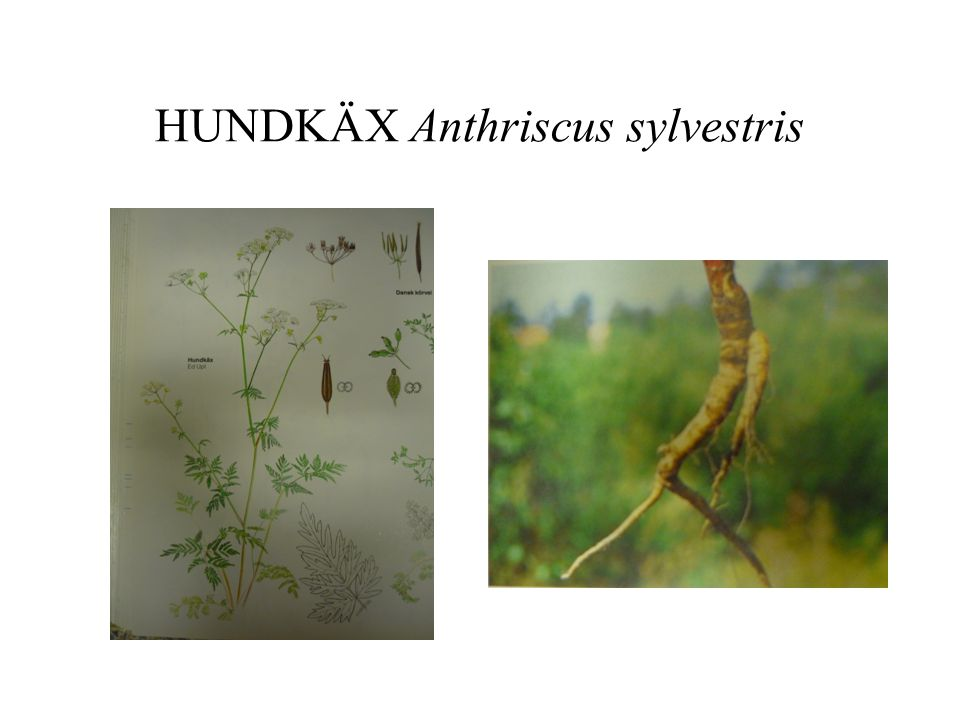 HUNDKÄX Anthriscus sylvestris