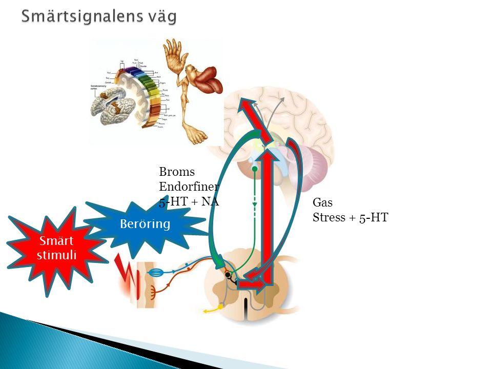 Smärtsignalens väg Broms Endorfiner 5-HT + NA Gas Stress + 5-HT