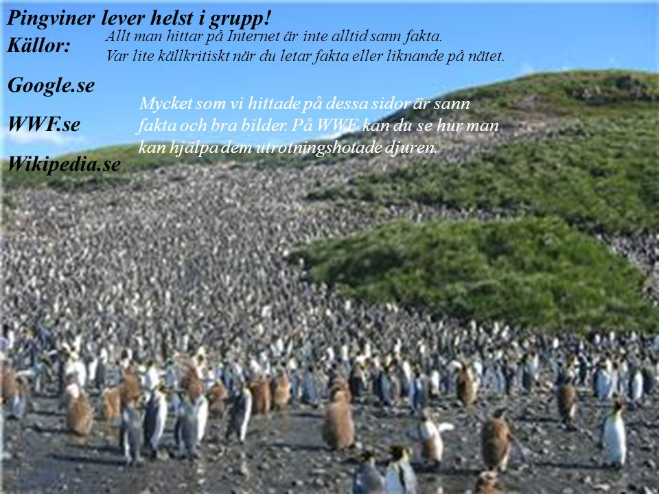 Pingviner lever helst i grupp! Källor: Google.se WWF.se Wikipedia.se