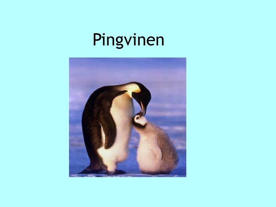 Pingvinen Pingvinen
