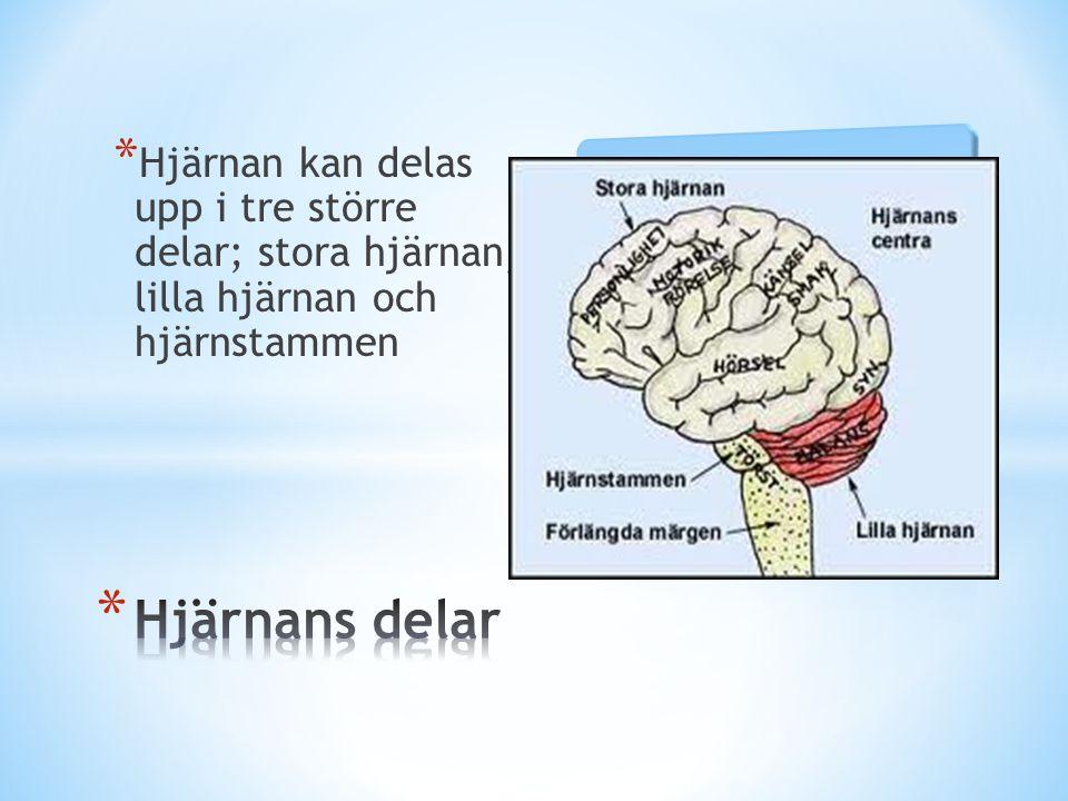 Hjärnan kan delas upp i tre större delar; stora hjärnan, lilla hjärnan och hjärnstammen