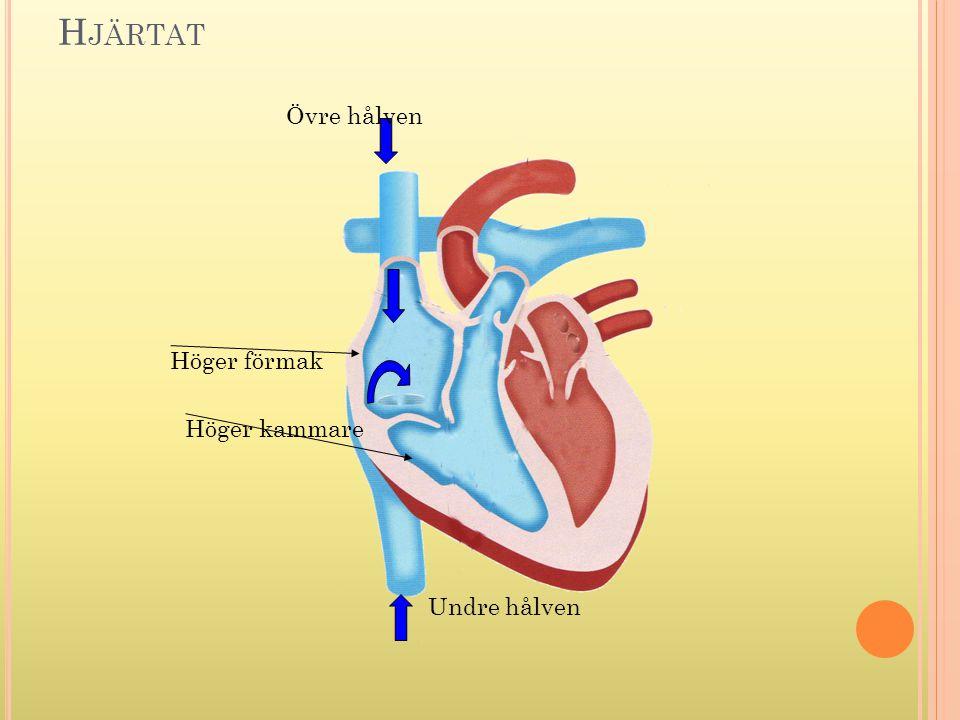 Hjärtat Övre hålven Höger förmak Höger kammare Undre hålven