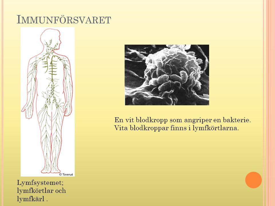 Immunförsvaret En vit blodkropp som angriper en bakterie.