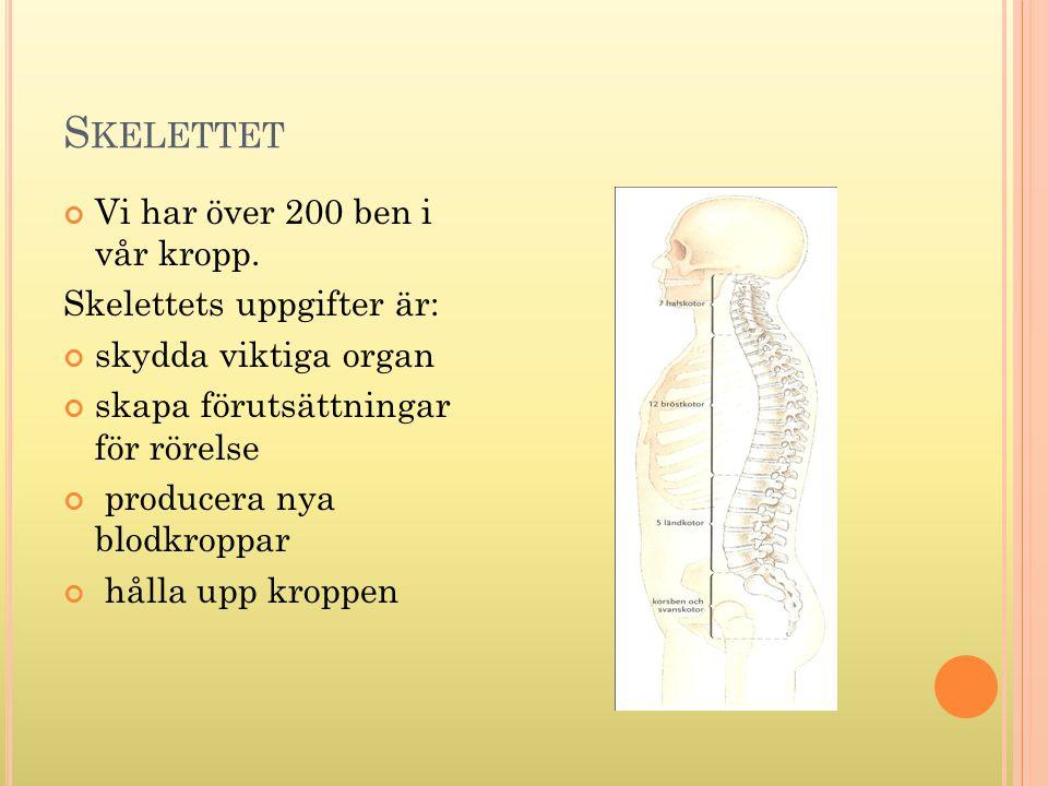 Skelettet Vi har över 200 ben i vår kropp. Skelettets uppgifter är:
