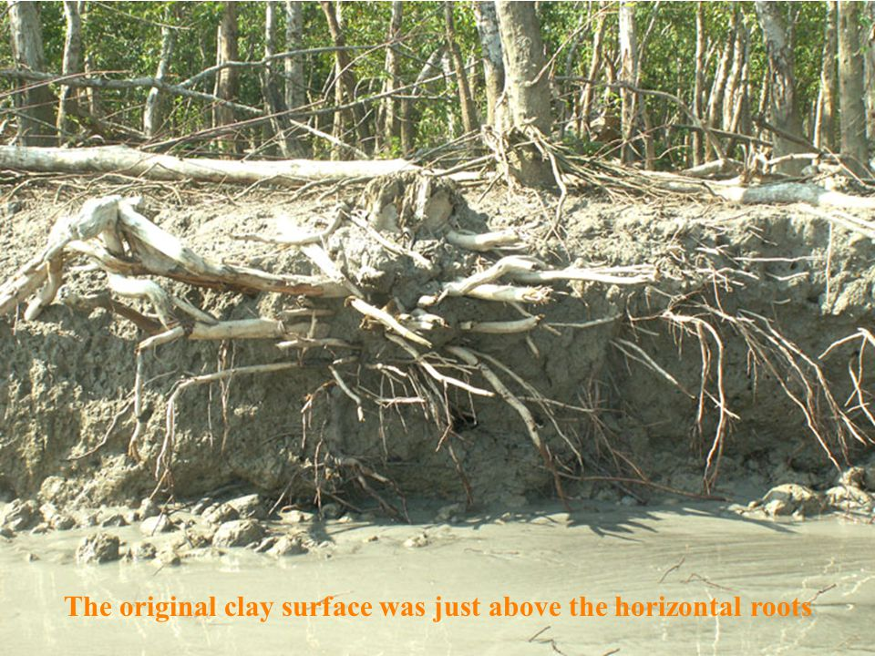 The original clay surface was just above the horizontal roots