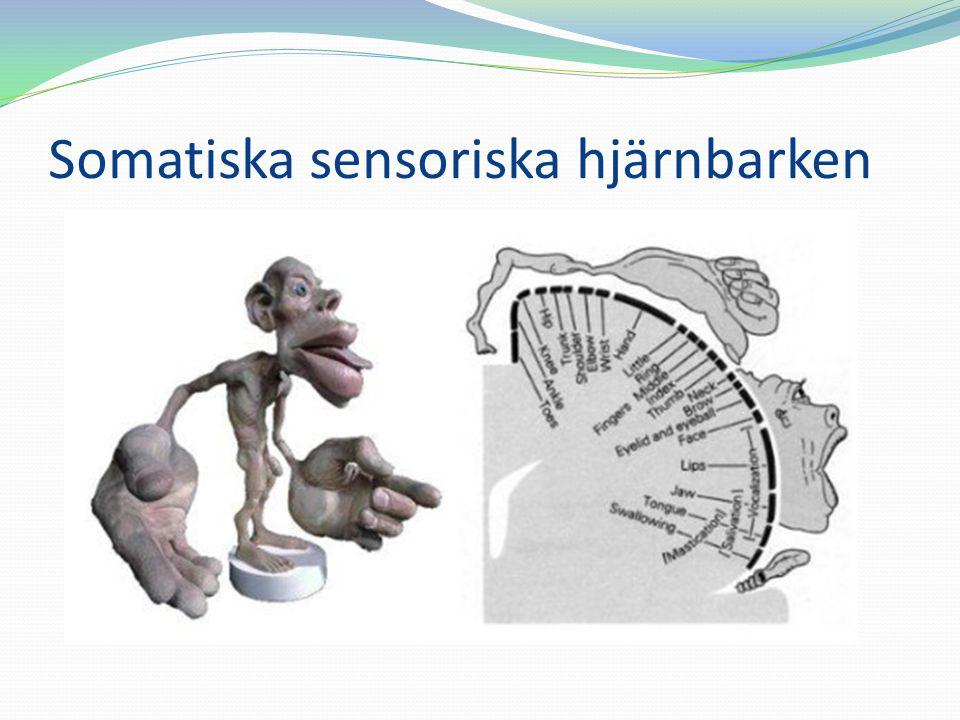 Somatiska sensoriska hjärnbarken