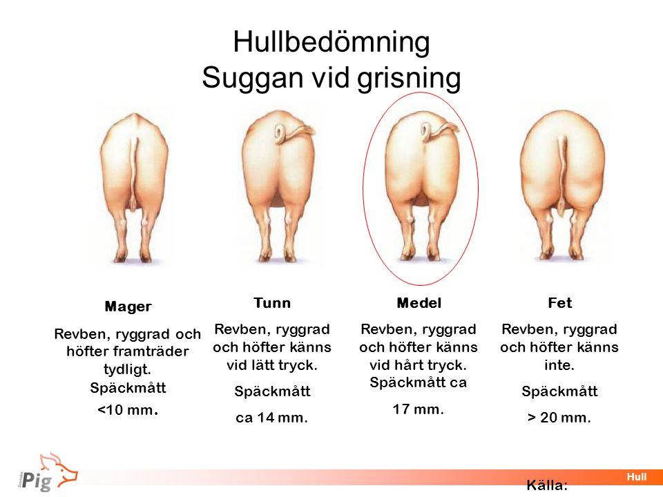 Hullbedömning Suggan vid grisning