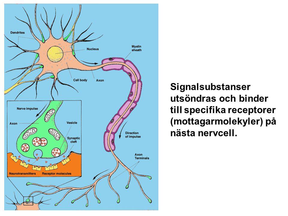Signalsubstanser utsöndras och binder till specifika receptorer (mottagarmolekyler) på nästa nervcell.