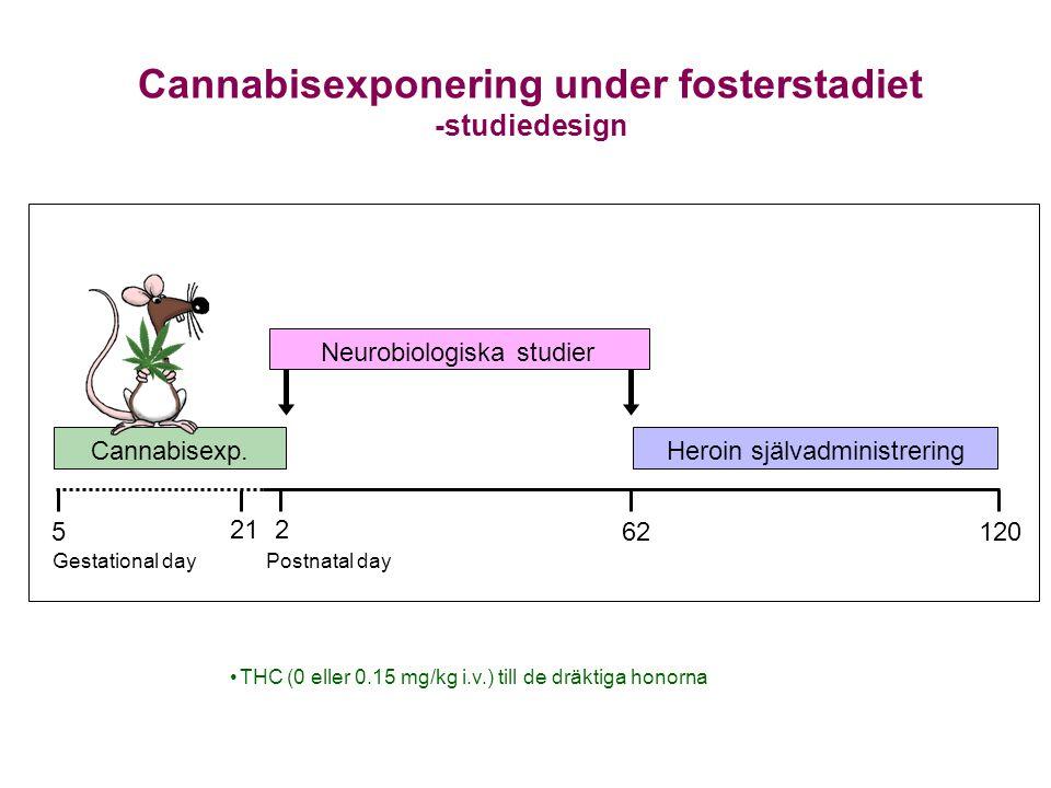Cannabisexponering under fosterstadiet