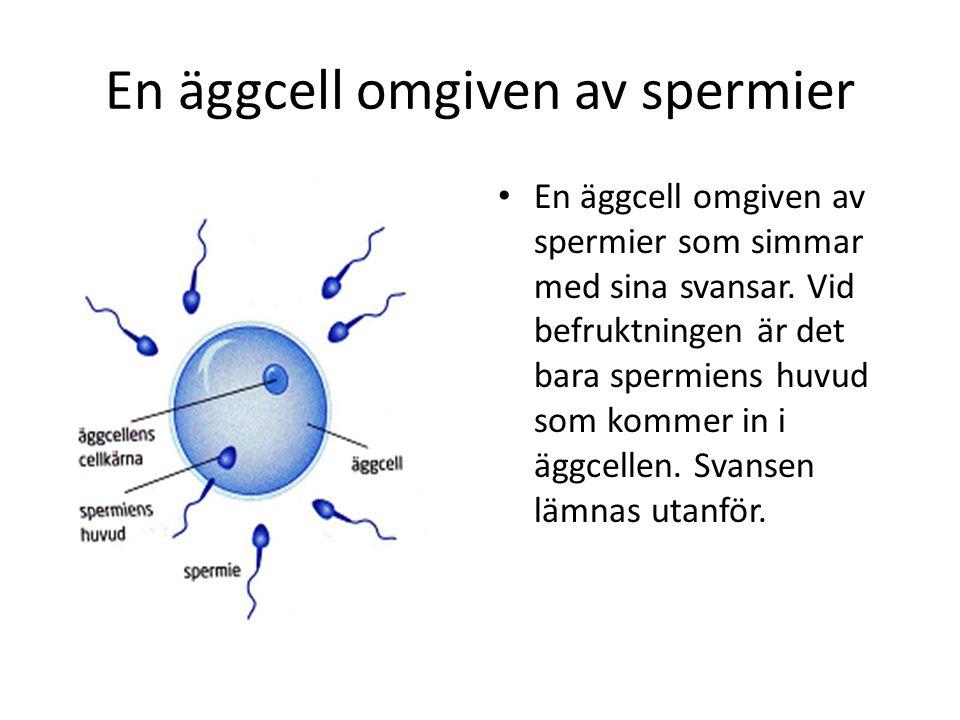 En äggcell omgiven av spermier
