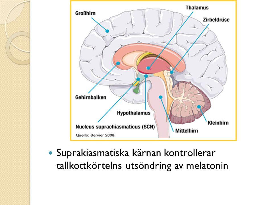 Suprakiasmatiska kärnan kontrollerar tallkottkörtelns utsöndring av melatonin