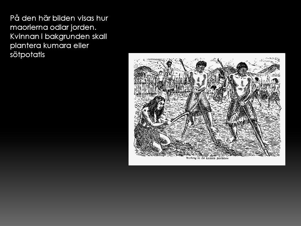 På den här bilden visas hur maorierna odlar jorden