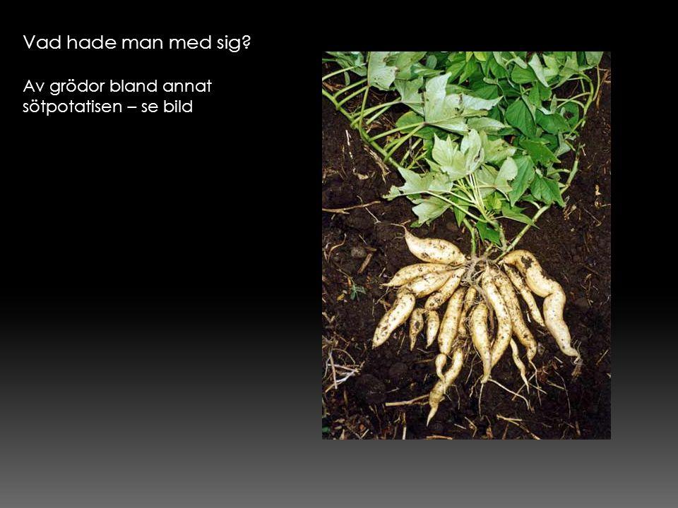 Vad hade man med sig Av grödor bland annat sötpotatisen – se bild