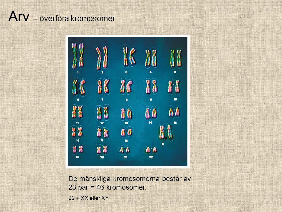 Arv – överföra kromosomer