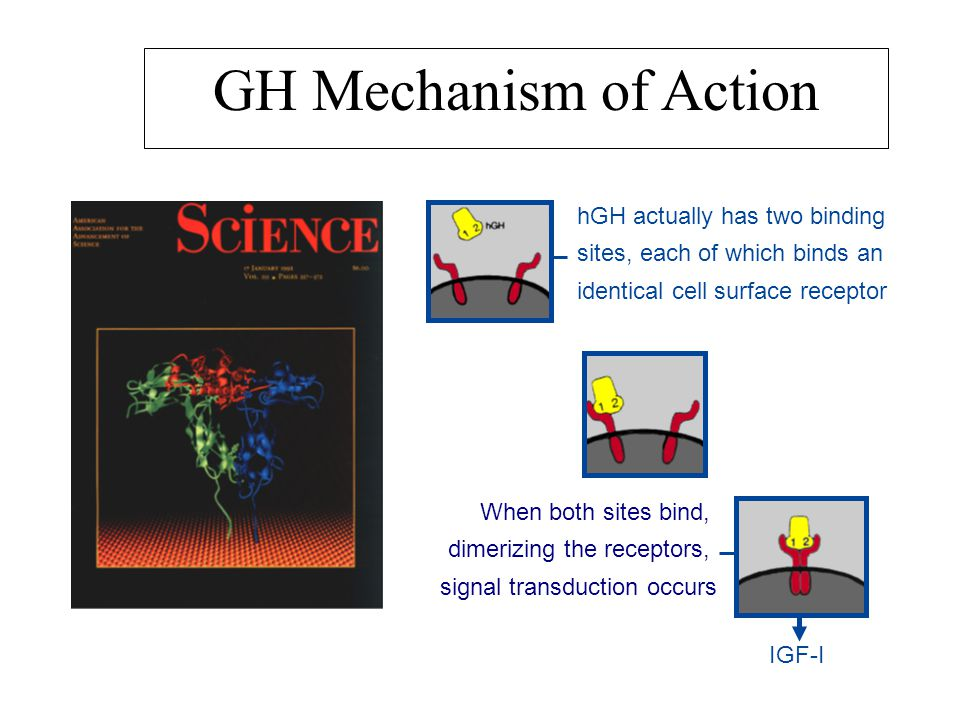 GH Mechanism of Action hGH actually has two binding sites, each of which binds an identical cell surface receptor.