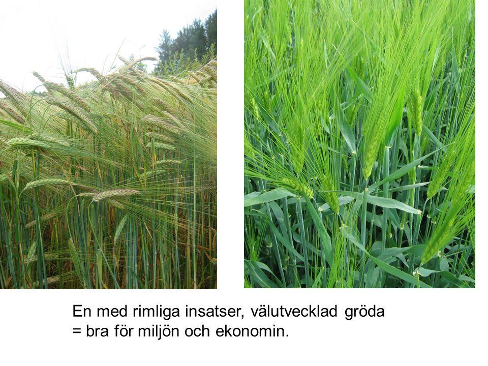 En med rimliga insatser, välutvecklad gröda = bra för miljön och ekonomin.