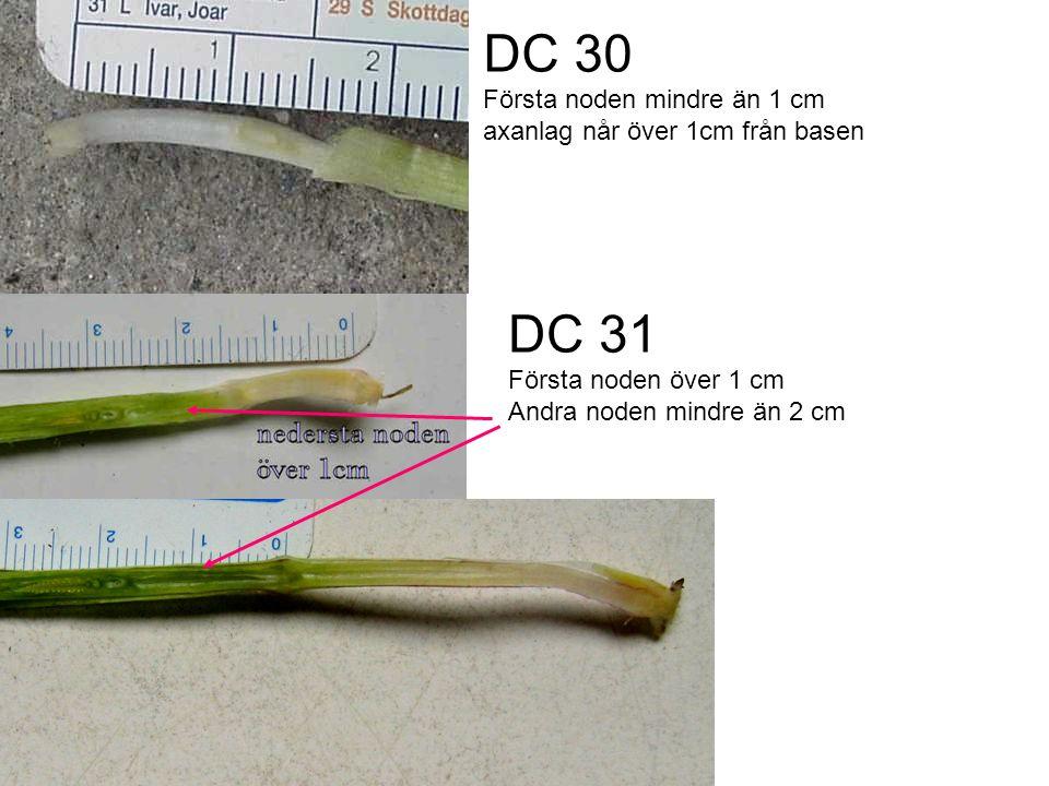 DC 30 Första noden mindre än 1 cm axanlag når över 1cm från basen. DC 31. Första noden över 1 cm.