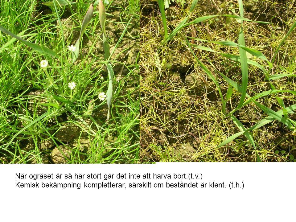 När ogräset är så här stort går det inte att harva bort. (t. v