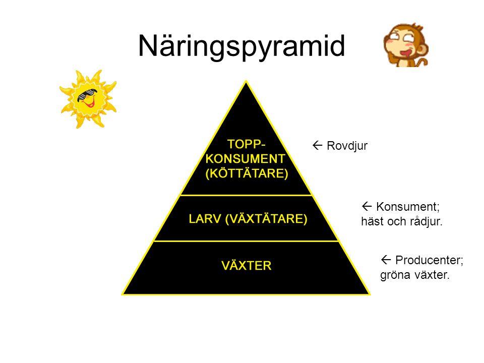 Näringspyramid  Rovdjur  Konsument; häst och rådjur.