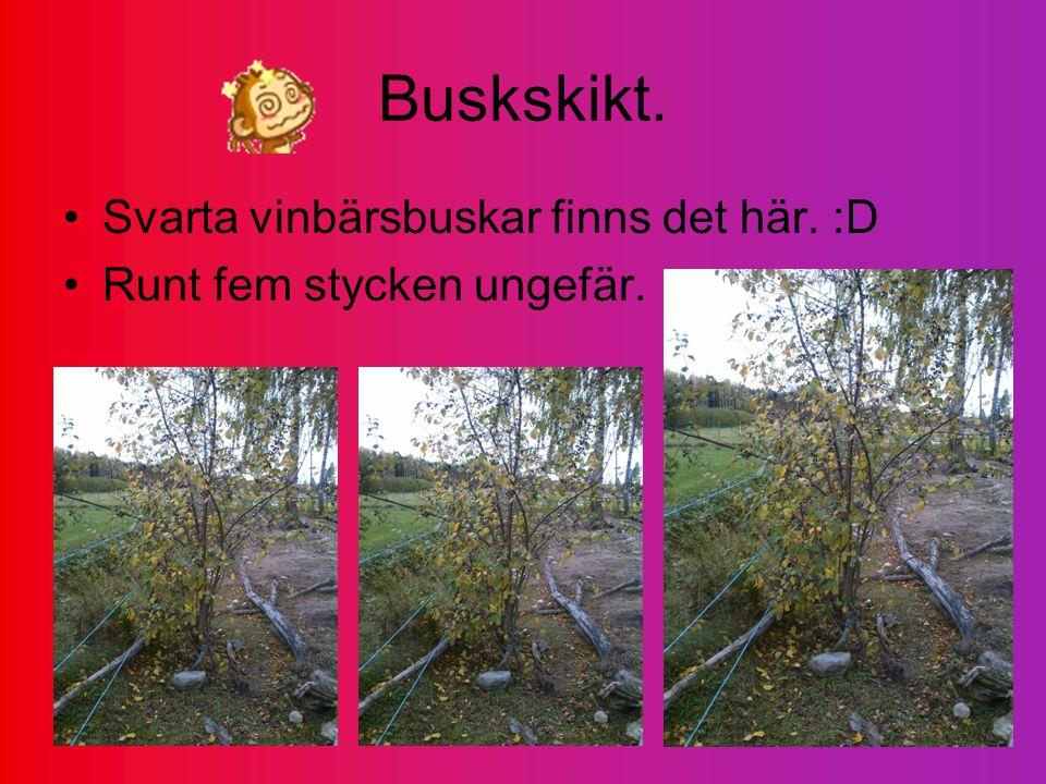 Buskskikt. Svarta vinbärsbuskar finns det här. :D