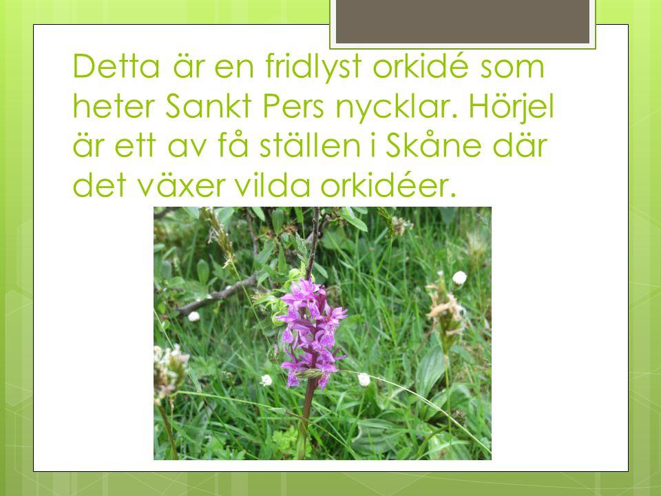 Detta är en fridlyst orkidé som heter Sankt Pers nycklar