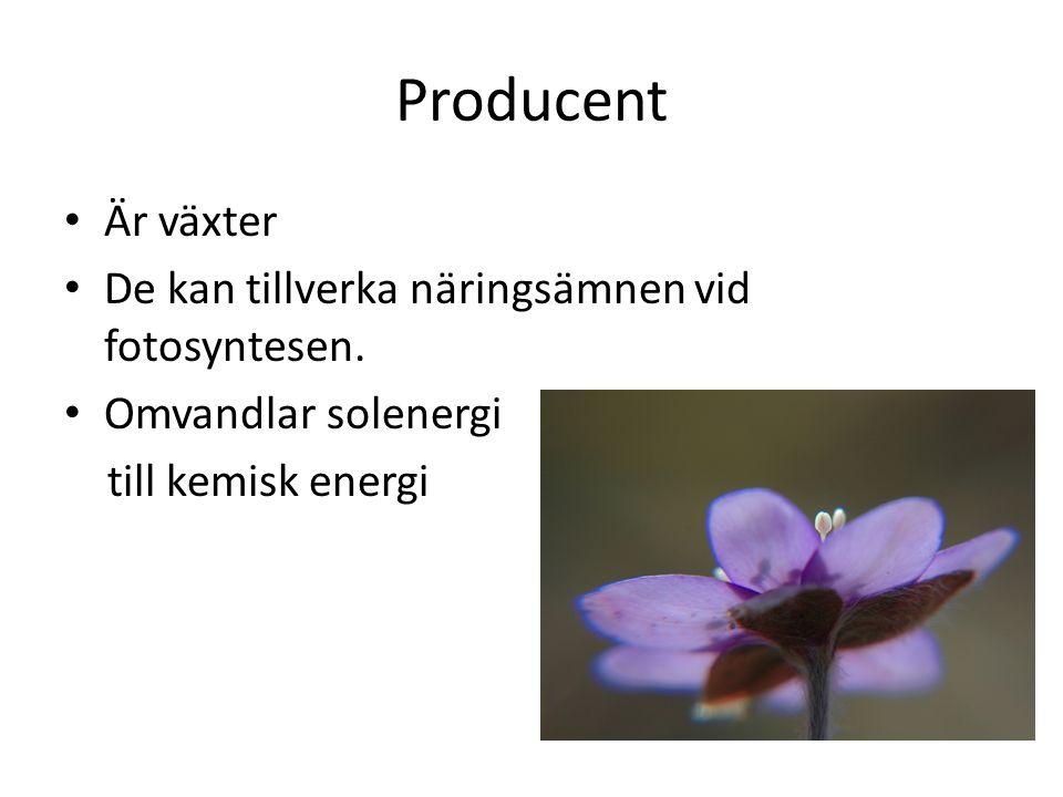 Producent Är växter De kan tillverka näringsämnen vid fotosyntesen.