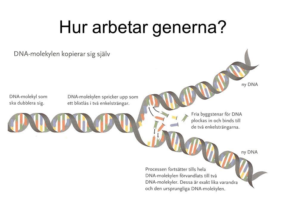 Hur arbetar generna HGP, Human Genome Project var klara med kartläggningen av människans arvsmassa år 2000.