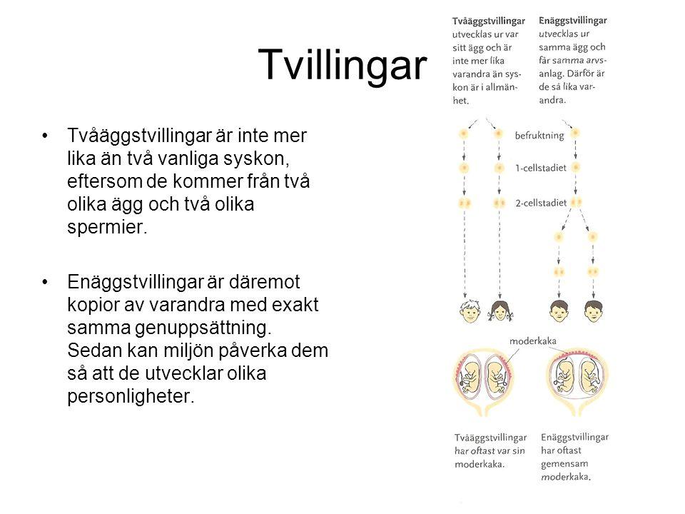 Tvillingar Tvåäggstvillingar är inte mer lika än två vanliga syskon, eftersom de kommer från två olika ägg och två olika spermier.