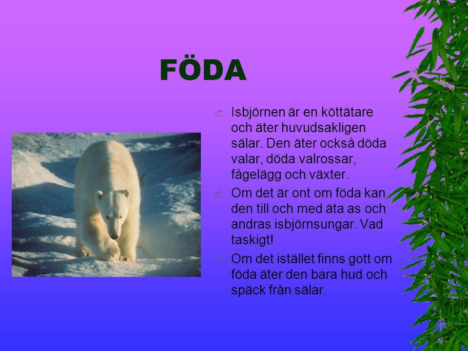FÖDA Isbjörnen är en köttätare och äter huvudsakligen sälar. Den äter också döda valar, döda valrossar, fågelägg och växter.