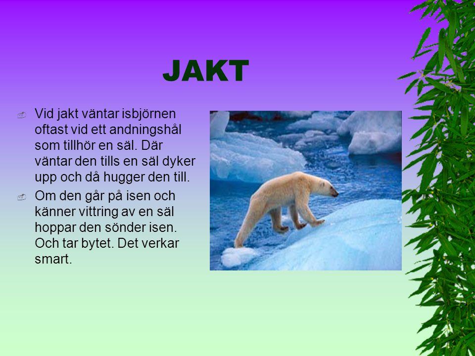 JAKT Vid jakt väntar isbjörnen oftast vid ett andningshål som tillhör en säl. Där väntar den tills en säl dyker upp och då hugger den till.