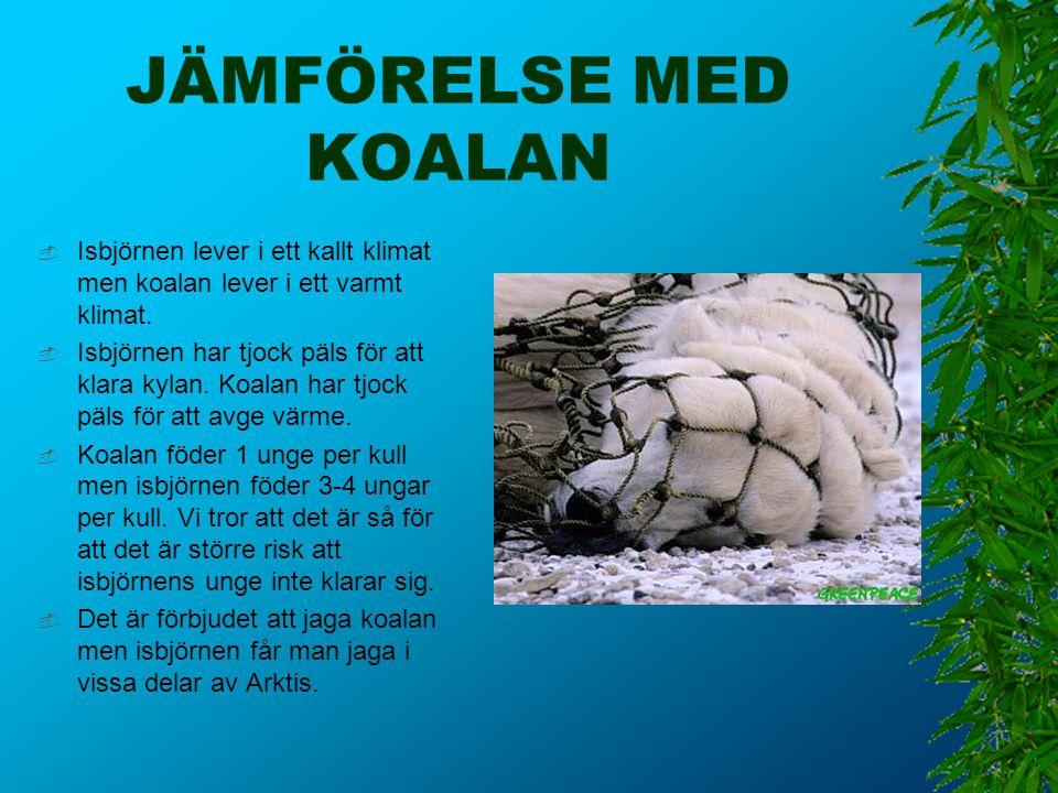 JÄMFÖRELSE MED KOALAN Isbjörnen lever i ett kallt klimat men koalan lever i ett varmt klimat.