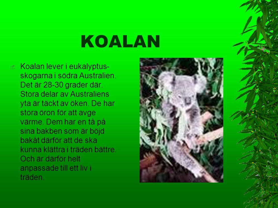 KOALAN