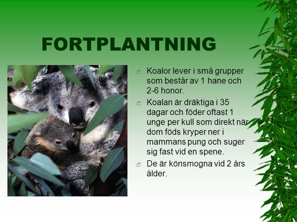 FORTPLANTNING Koalor lever i små grupper som består av 1 hane och 2-6 honor.