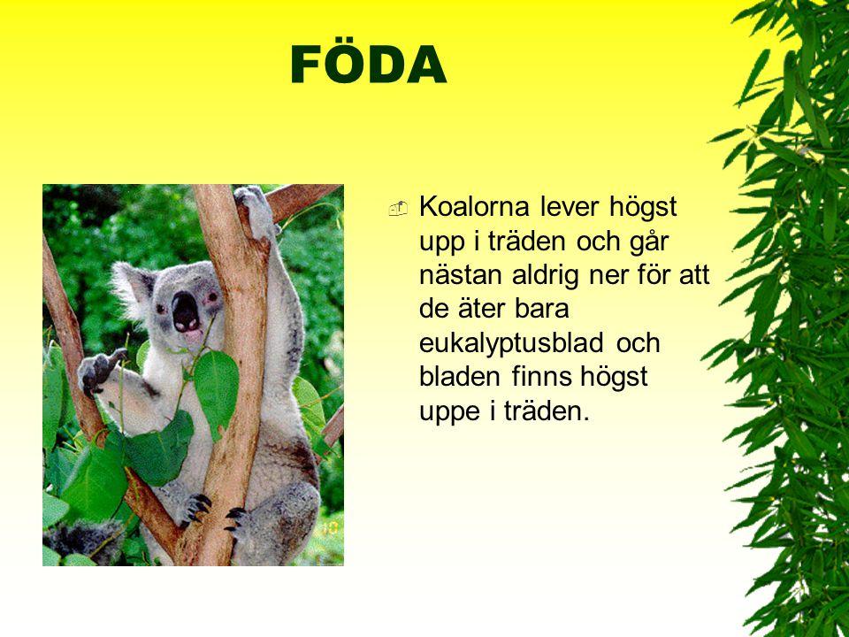 FÖDA Koalorna lever högst upp i träden och går nästan aldrig ner för att de äter bara eukalyptusblad och bladen finns högst uppe i träden.