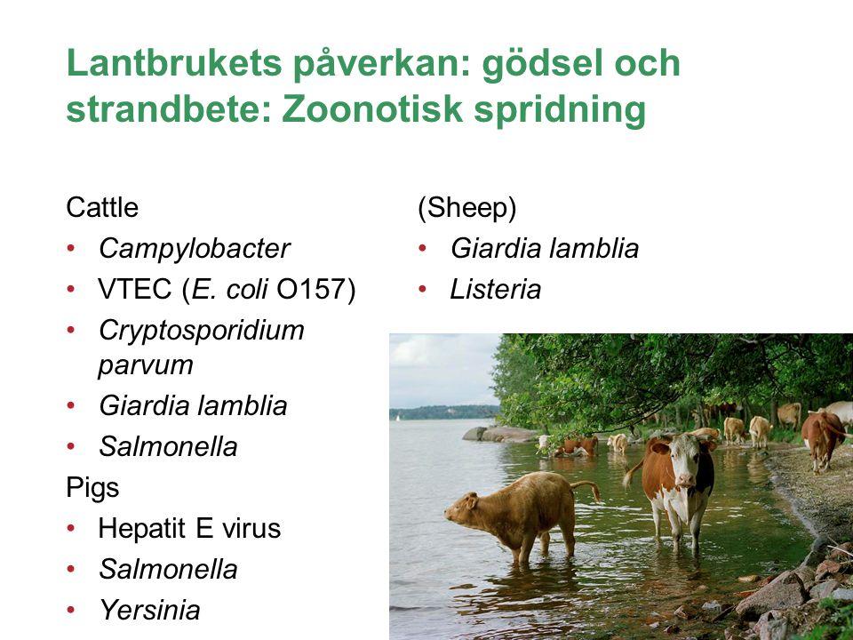 Lantbrukets påverkan: gödsel och strandbete: Zoonotisk spridning