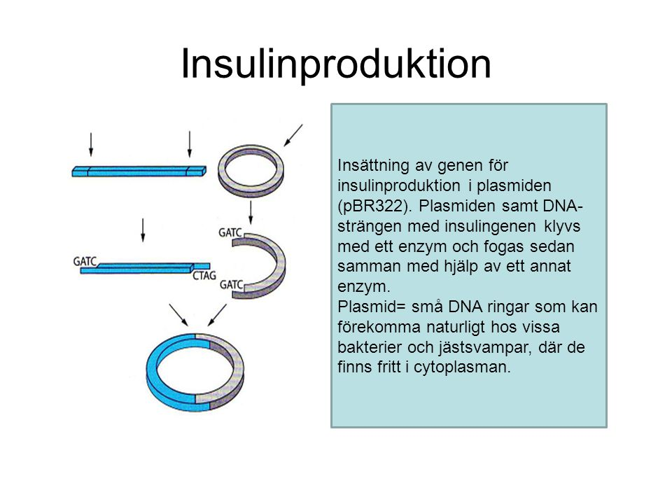 Insulinproduktion